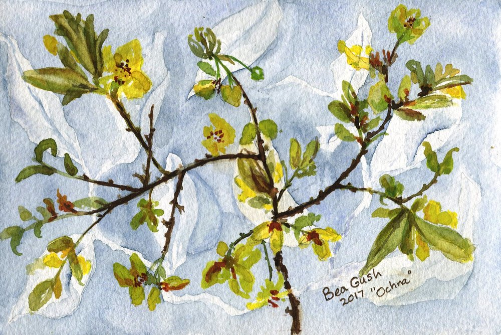 67A BEA GUSH, OCHNA, WATERCOLOUR ON PAPER