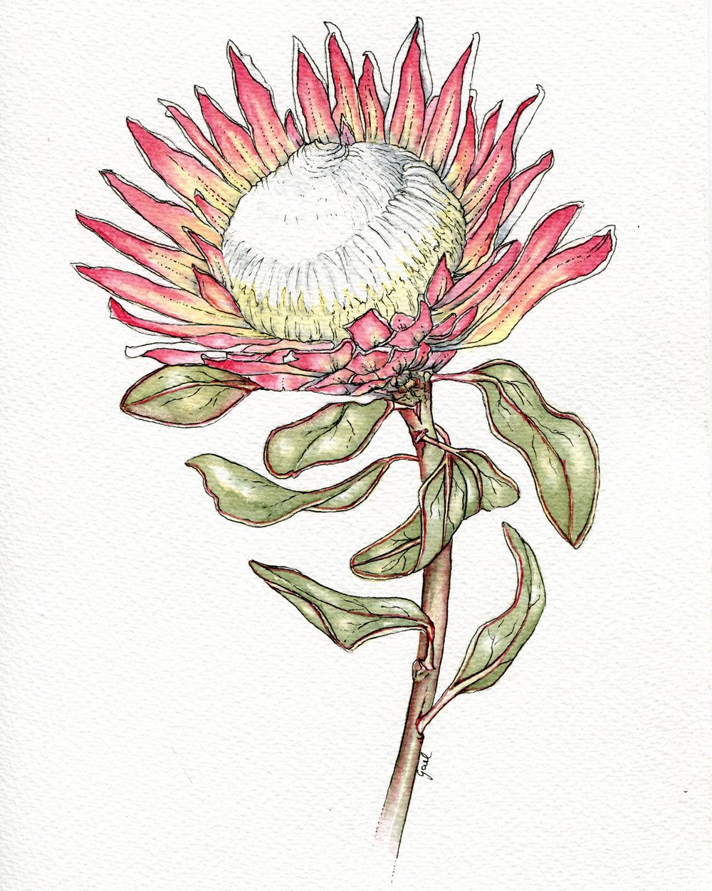 75a  Gael Meter  King protea  watercolour and ink on paper