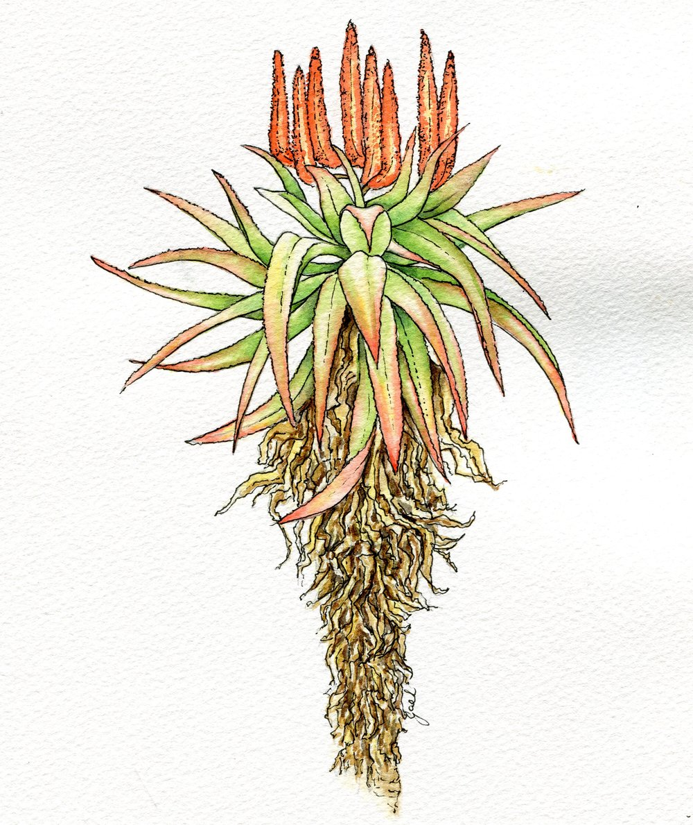 75b  Gael Meter  Aloe  watercolour and ink on paper
