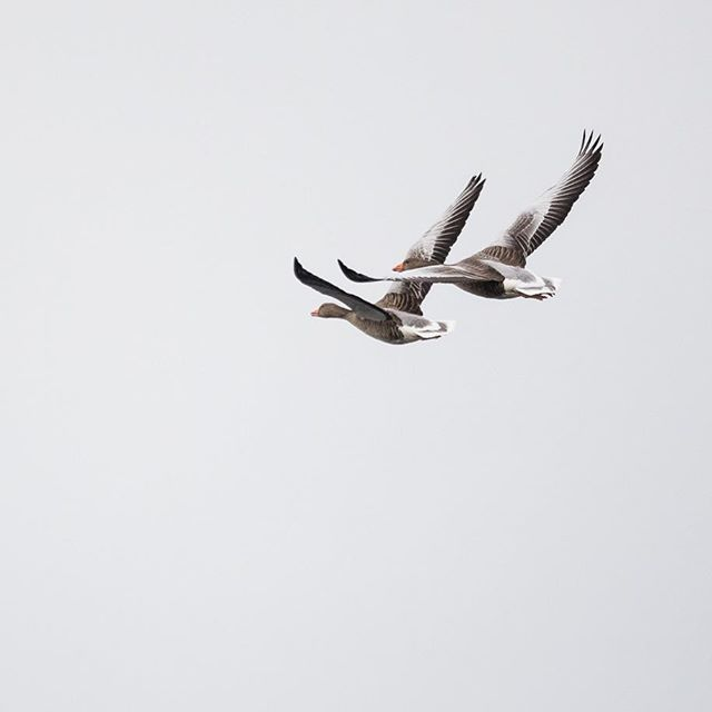 A couple of geese from yesterday's location - I think I saw a couple of hundred geese yesterday... Gear: Canon 5D mrk IV from @canonnordic /-/ Sigma 150-600mm f/5-6.3 Sports from @sigmaphoto /-/ Manfrotto MT055CXPRO3 from @manfrottoimaginemore and a gimbal head from @neewer Most gear was bought from @goeckerdanmark