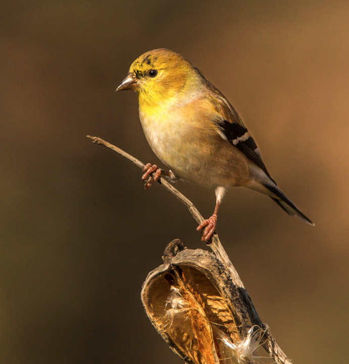 Spring 2016 Best of Show - American Goldfinch - Don Weltzien Click on the photo to see the other winning photos.