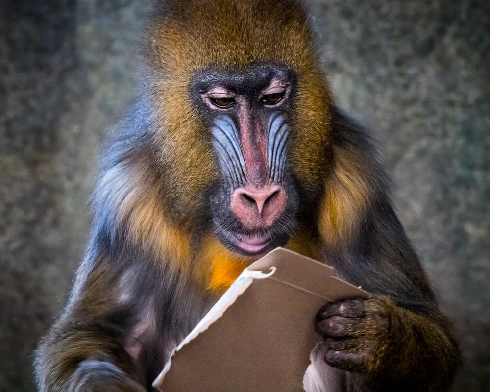 Reading Primate – Jim Kurovsky – Unlimited Visions Photo Club