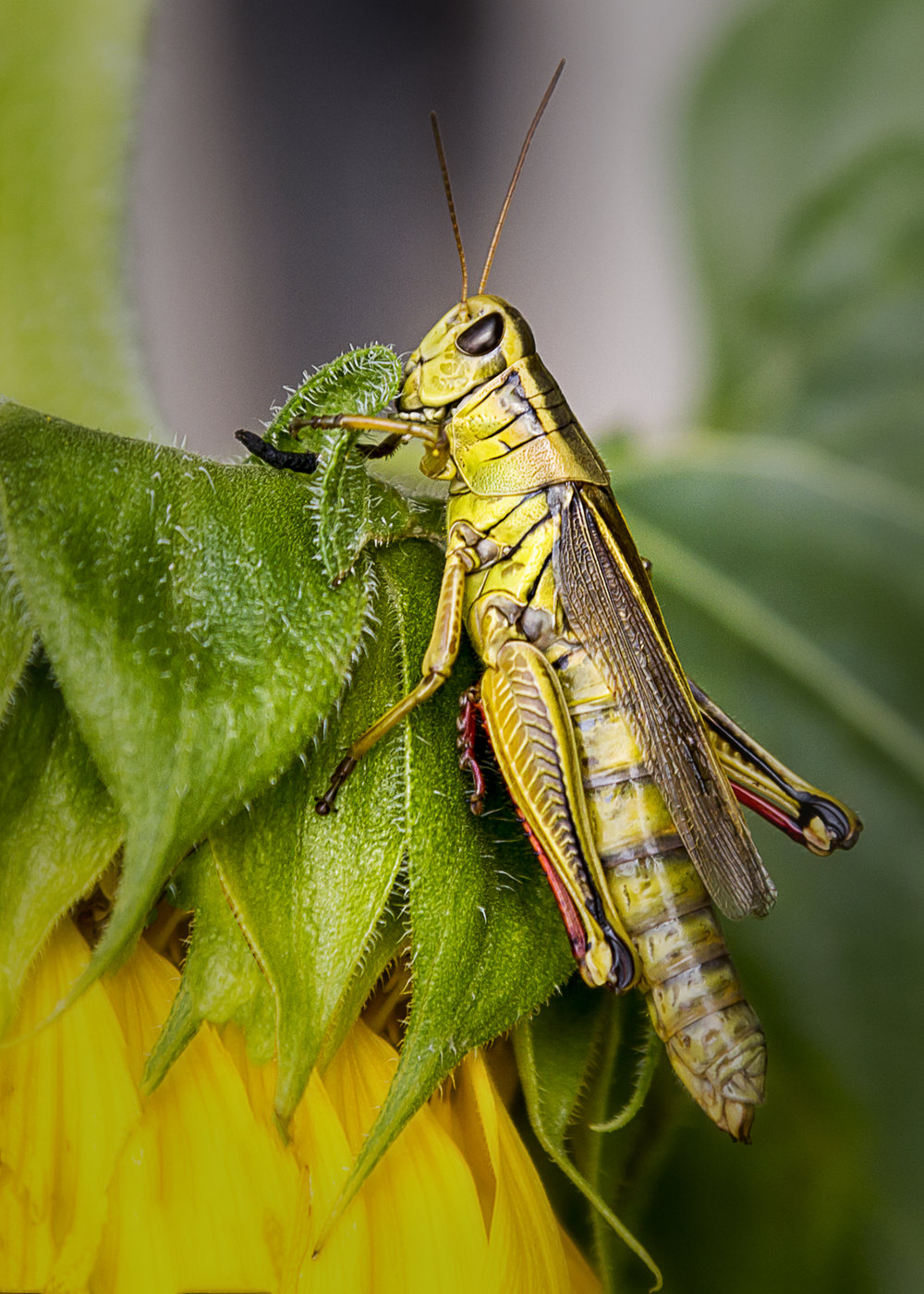 4131~COP~Grasshopper~Zuidema~Bonnie~FVC.jpg