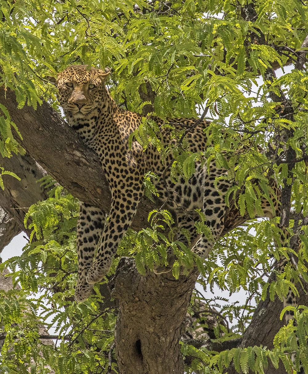 3416~CNP~Leopard_In_A_Tree~Emmerich  Jr~Gerald H~IMC.jpg