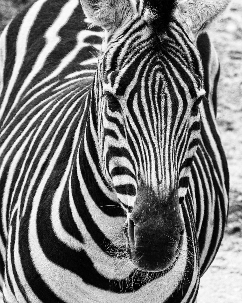 1655~MNP~Zebra~Lauttamus~Brian~MFC.jpg