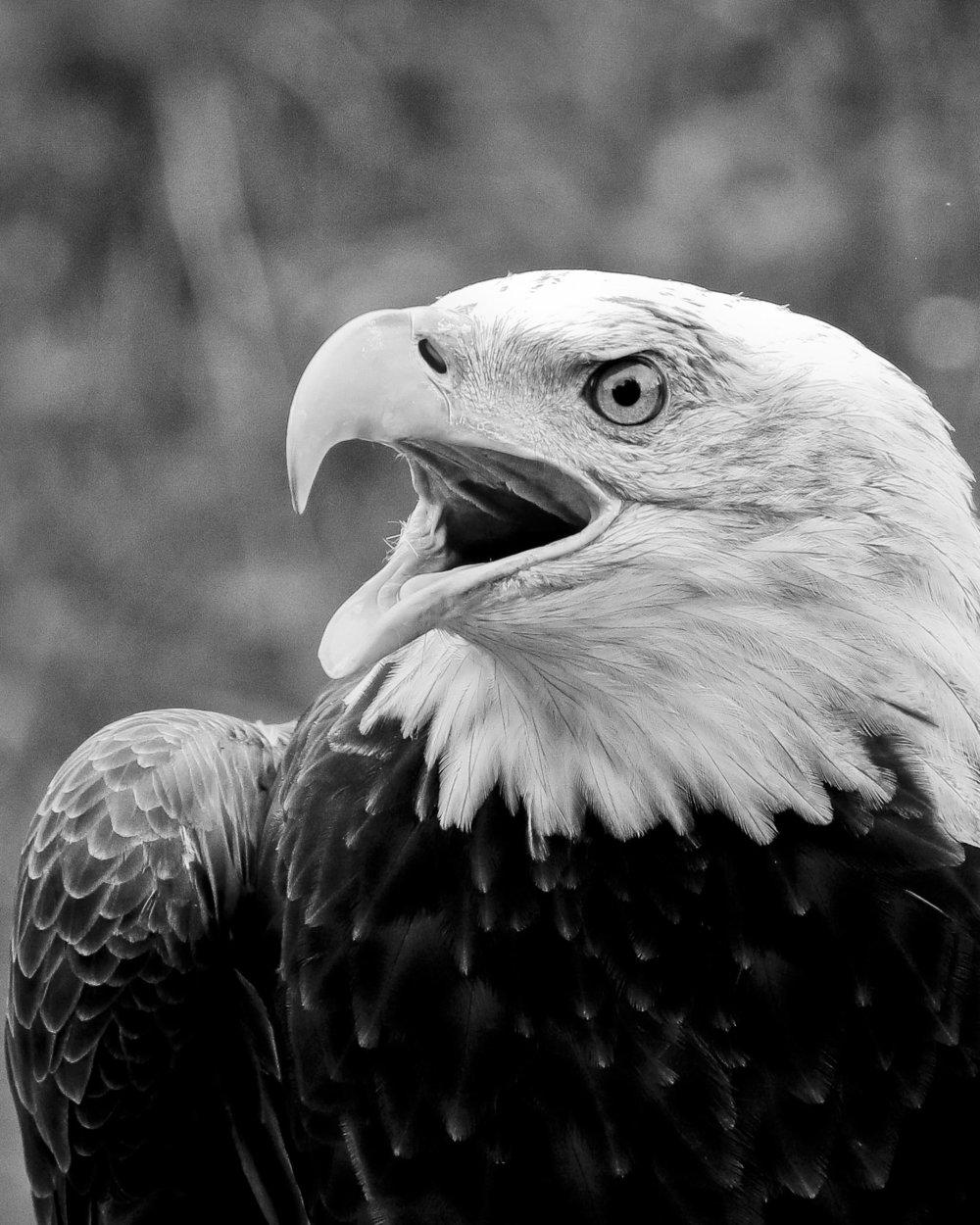 2159~MNP~Bald_Eagle_267-16~Rietz~Bill~MFC.jpg