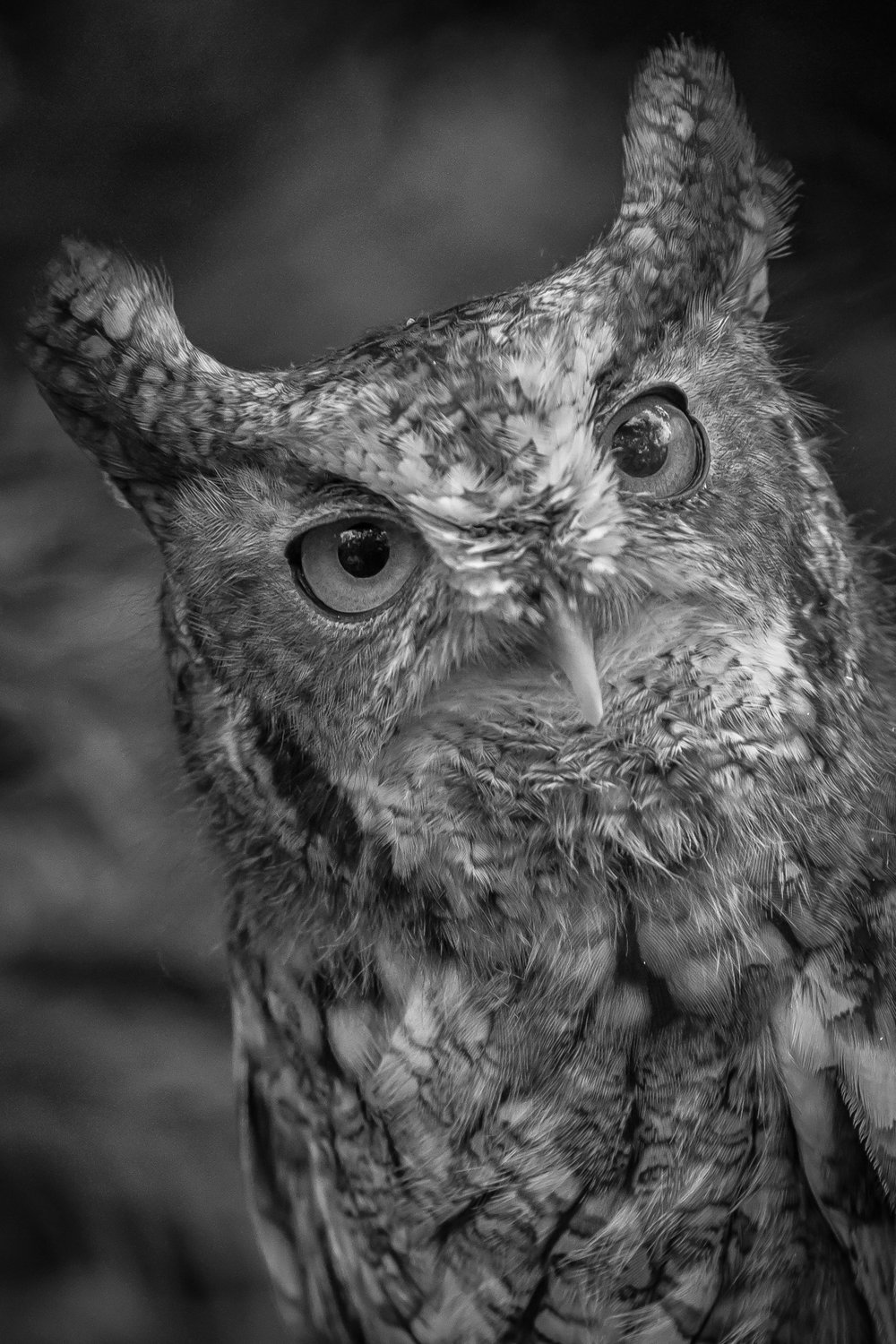 2864~MNP~Great_Horned_Owl~Lynch~Patrick~MFC.jpg