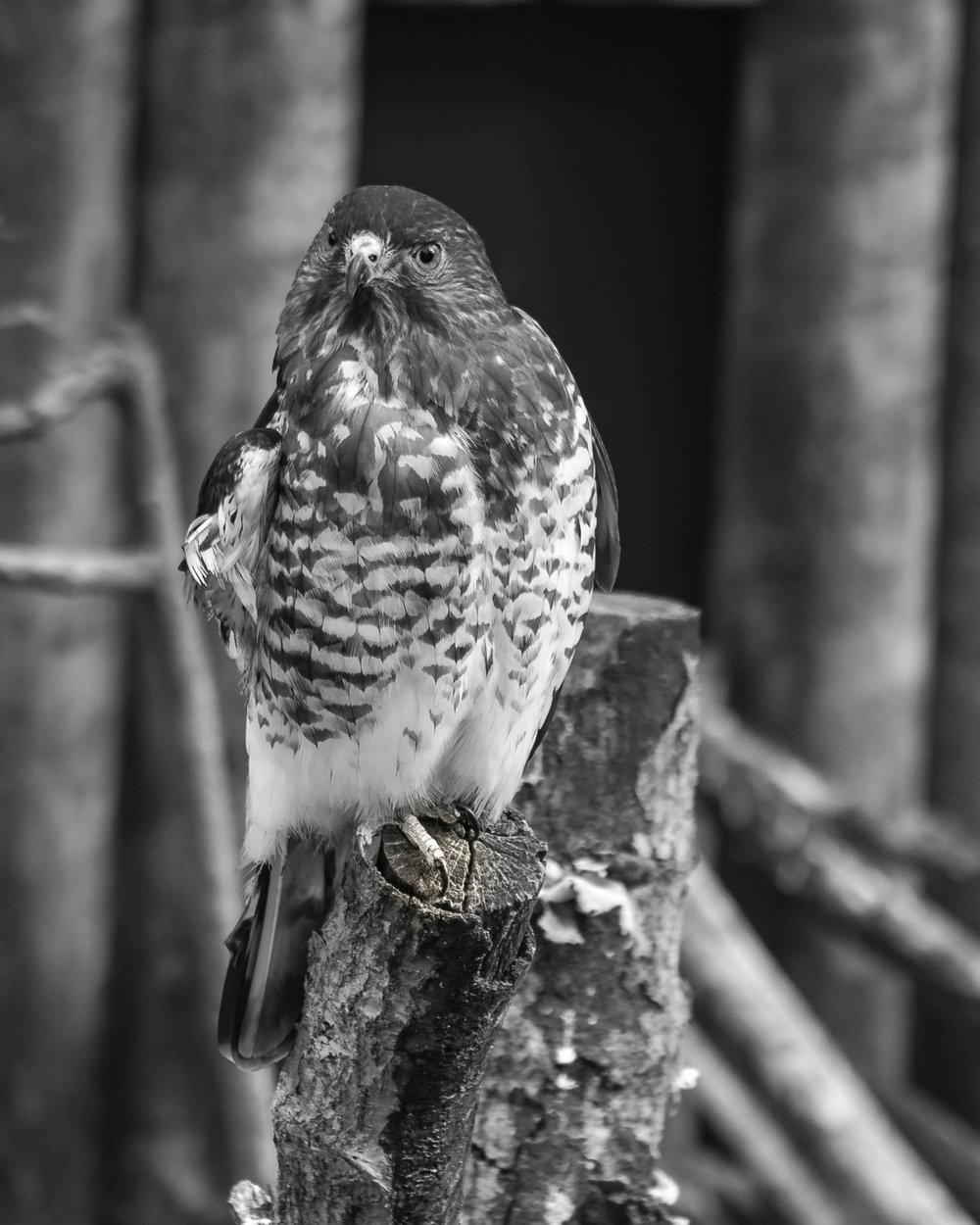 4979~MNP~Hawk_Eye~Bohlman~Ken~MFC.jpg