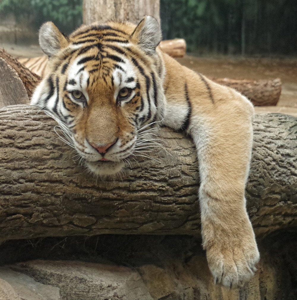 2337~COP~Lolling_Tiger~Moertl~Paul~MFC.jpg