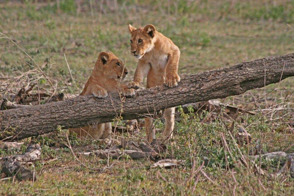 1562~CNP~Lion_Cubs_Playing~Braun~Kathleen~PPM.jpg
