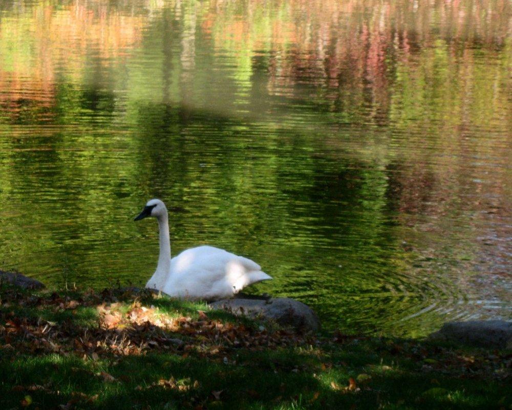 2461~CNP~Swan_In_Pond~Baer~Ruth~PPM.jpg