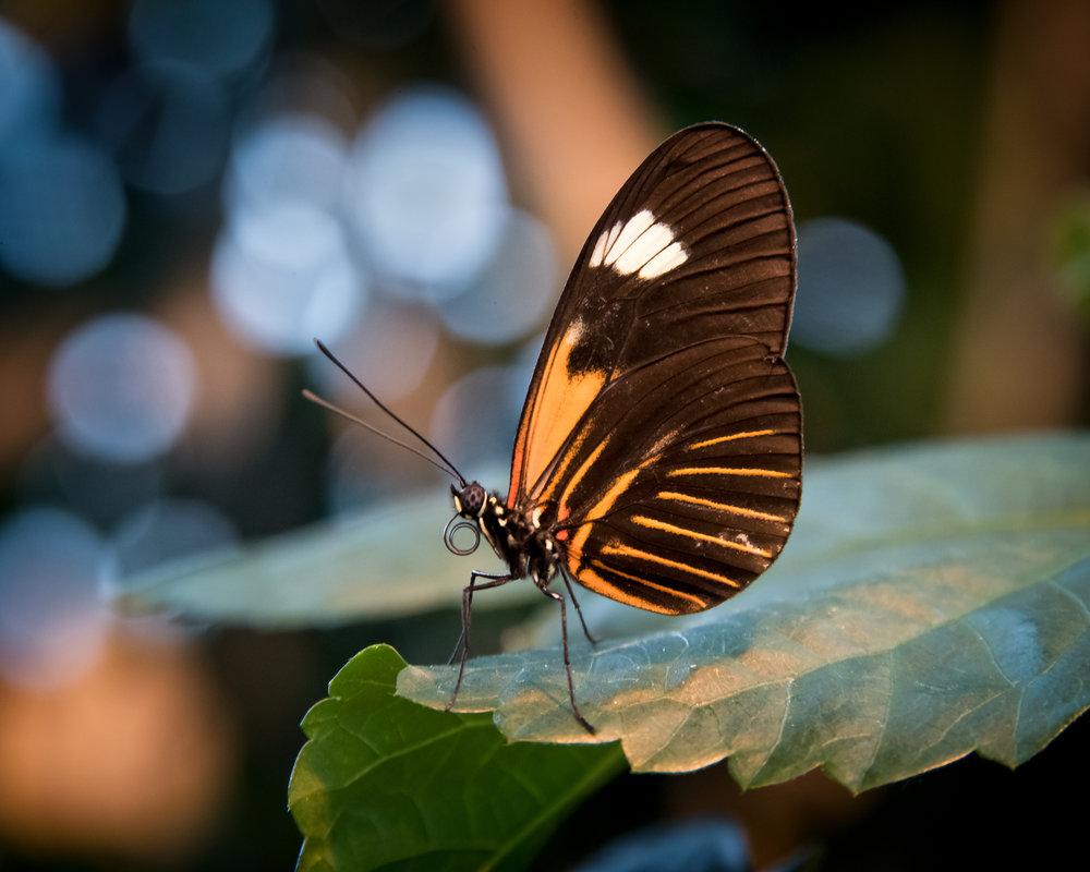 4386~COSP~Butterfly~Lauttamus~Brian~MFC.jpg