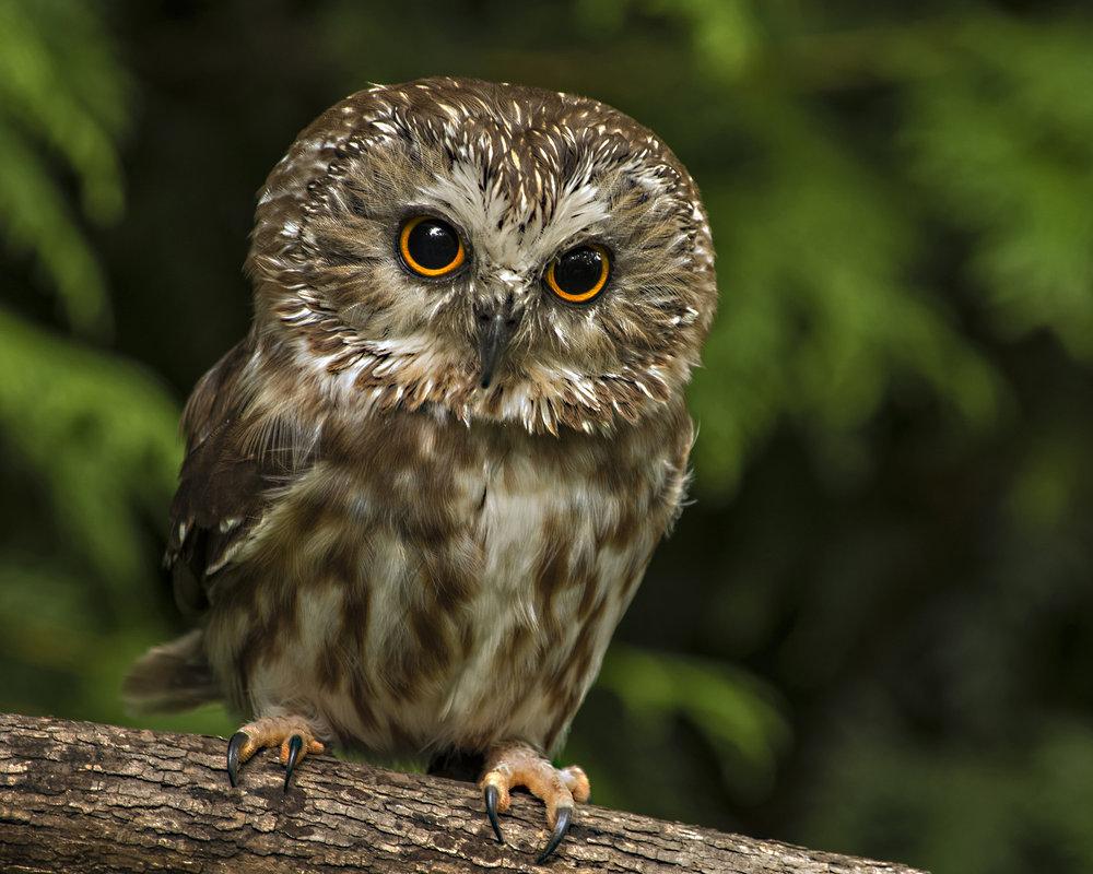 8390~CNP~Screech_Owl~Wilson~Milton~RET.jpg