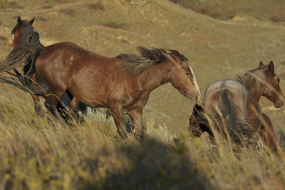 6629~CNSP~TRNP_WILD_HORSES~Laehn~Geri~WNC.jpg