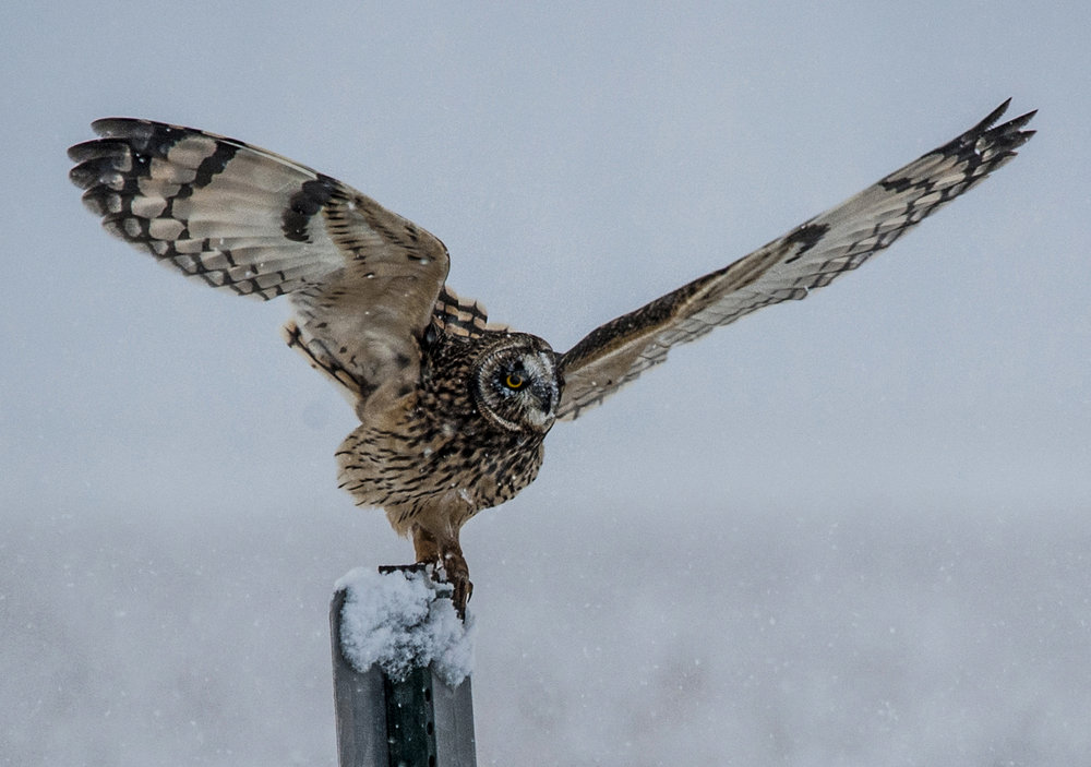 9538~COP~SHORT_EAR_OWL_AT_KILLSNAKE~Laehn~Geri~WNC.jpg