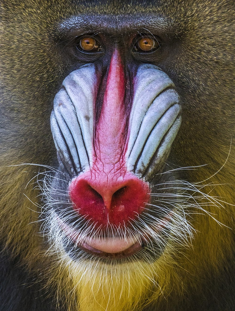 1st place - Mandrill in Denver Zoo~Gerald Emmerich, Jr. - Image Makers