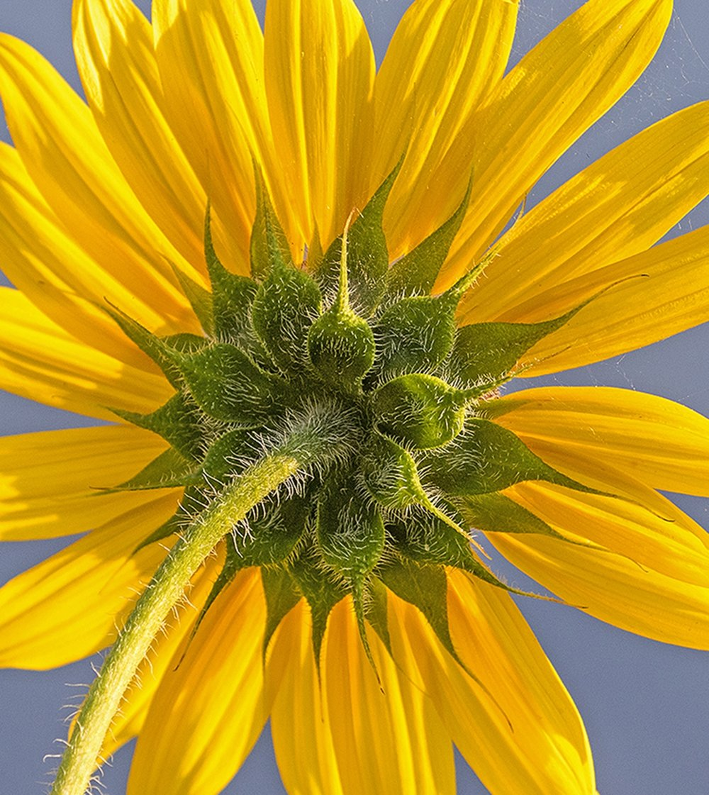 2nd place - Sunflower at Walden~Gerald Emmerich, Jr. - Image Makers