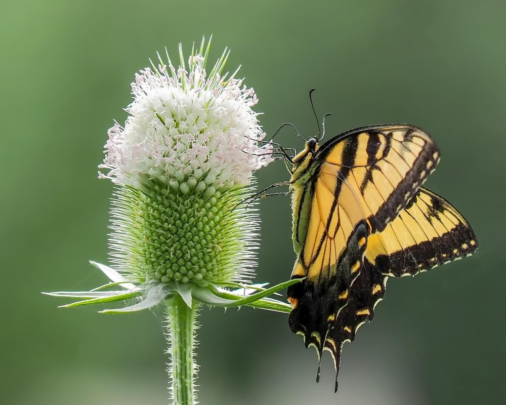 2nd place - Swallowtail and Teasel~Jessie Buchholz - Menomonee Falls