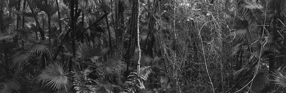 "Mary Peck (Strangler Fig, Mahogany Hammock) Circa 1984. Archival pigment print. 22"" x 62"".jpg"