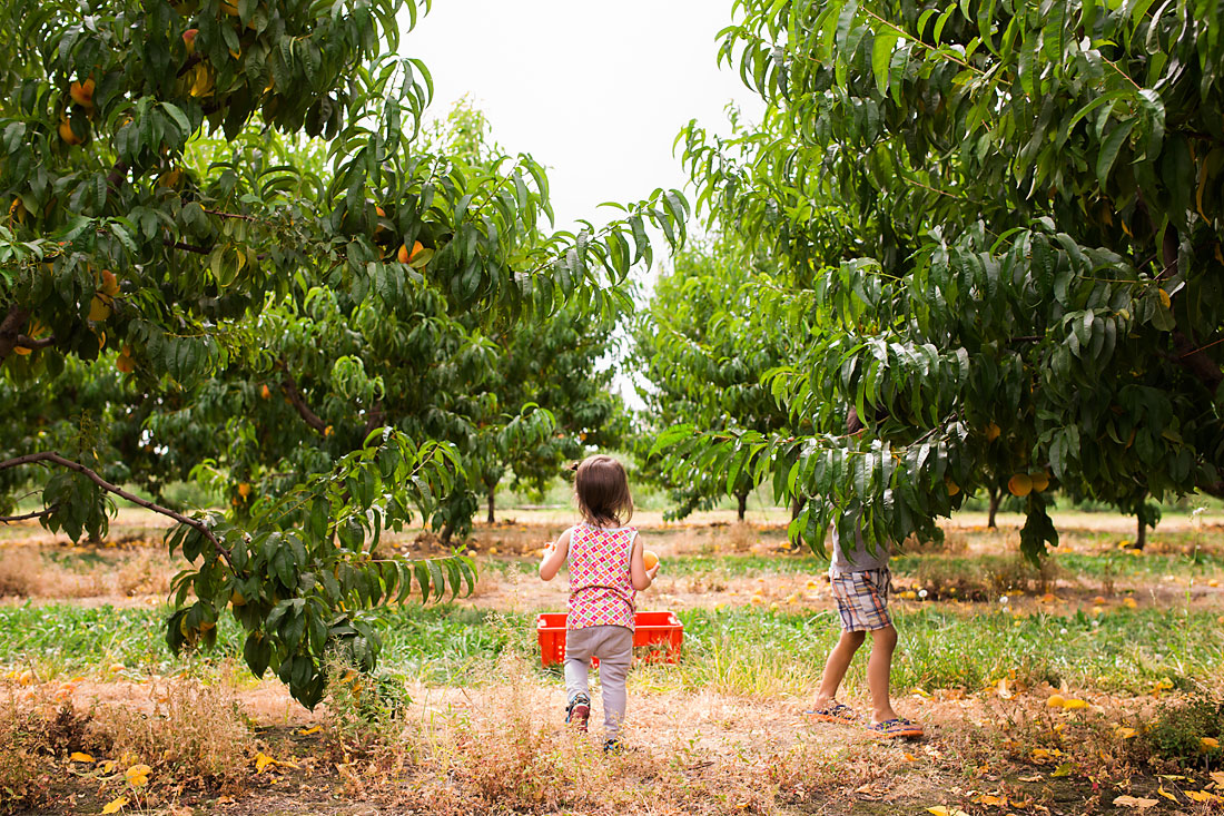 two children picking peaches in an orchard
