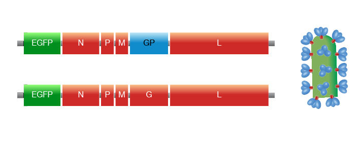 vsv genomes.jpg