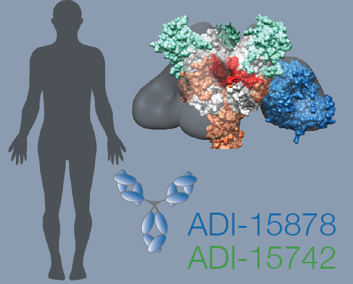 Human neutralizing antibodies target the viral fusion machinery.