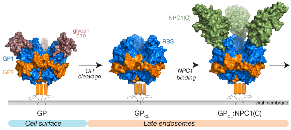 Molecular details of EBOLA virus glycoprotein processing in endosomes and it's engagement with domain C of NPC1, the entry receptor