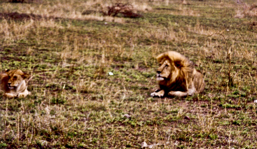 A beautiful lion and lioness in the Serengeti. 1999
