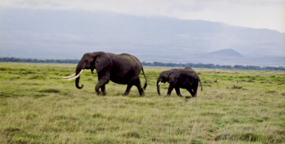 An Elephant and her calf out for a stroll. 1999