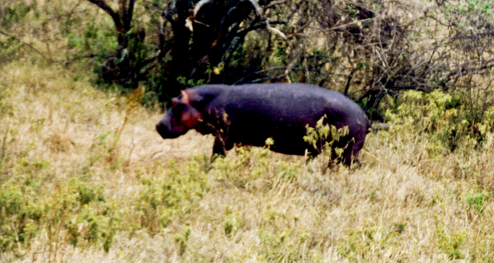 A medium sized hippopotamus grazing. 1999