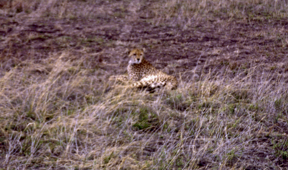 Curious Cheetah. 1999