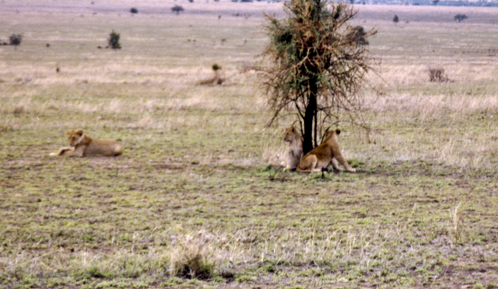 A lioness watches on as her playful cubs hide behind a tree. 1999