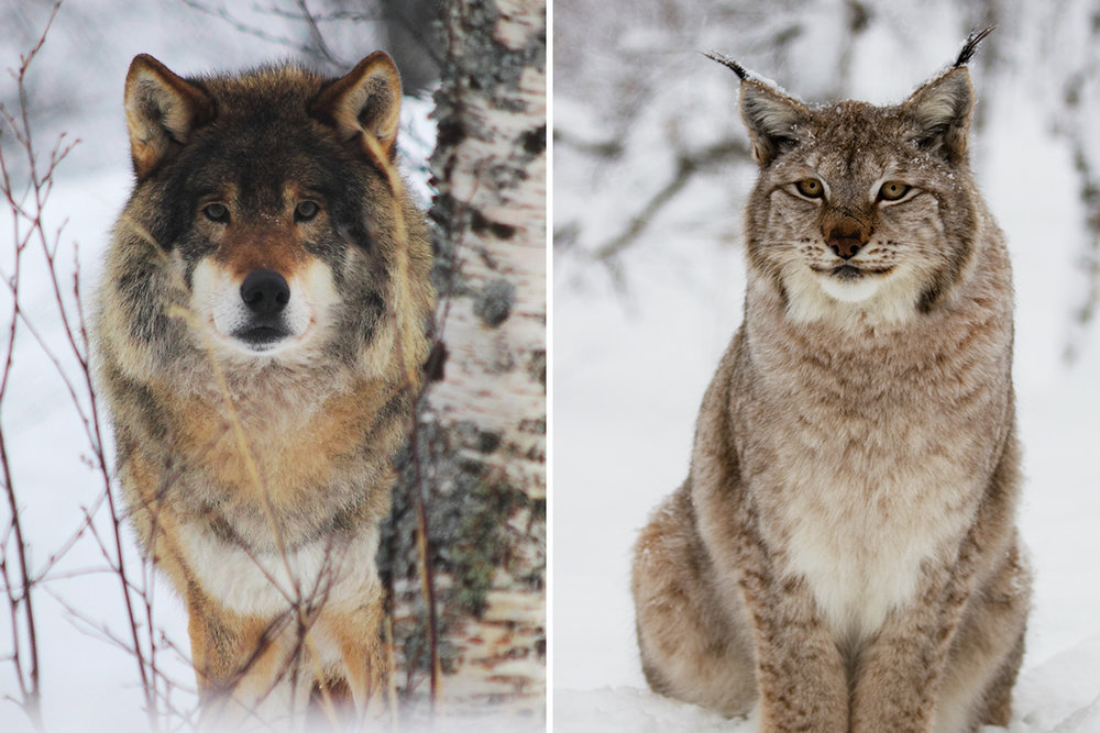 wolf and lynx