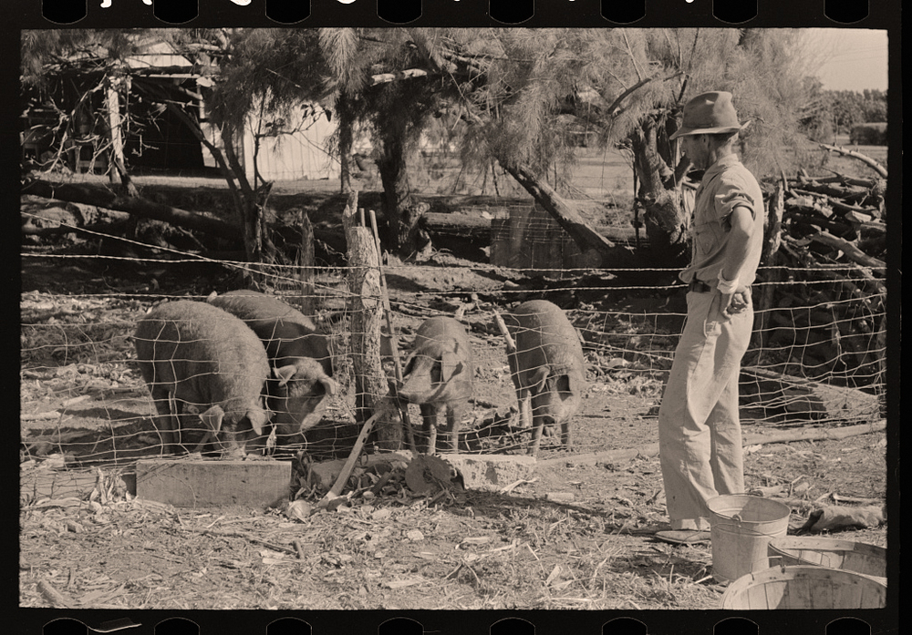 pigs-behind-fence.jpg
