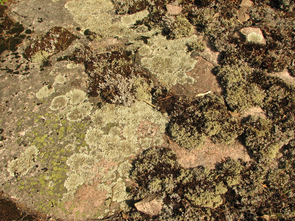 Lichens on rock