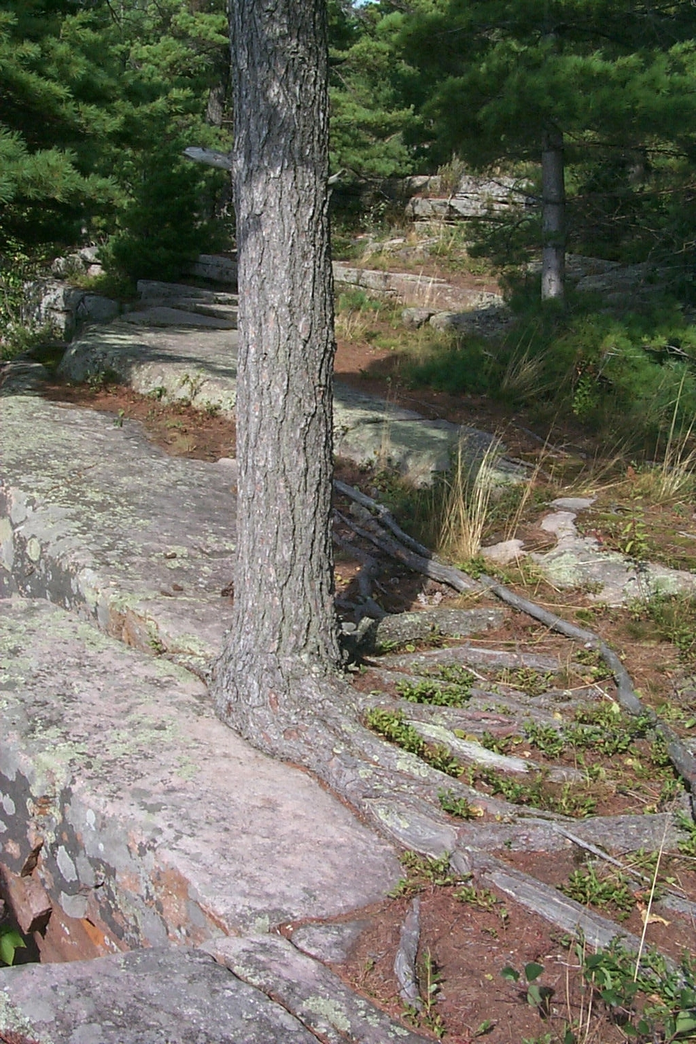 White Pine rooted in stone