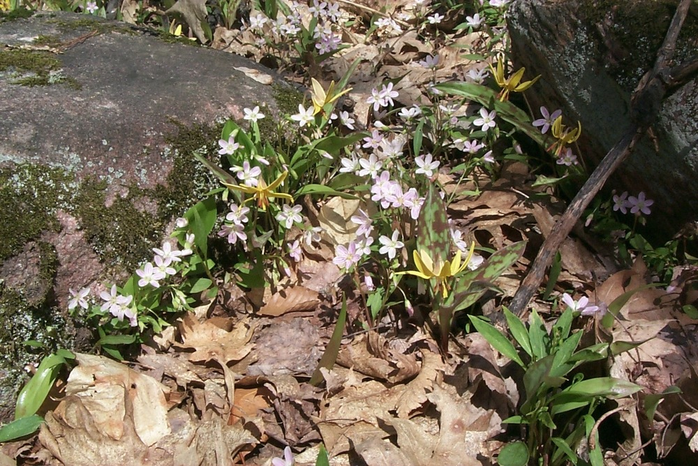 Spring Beauties and Trout Lilies
