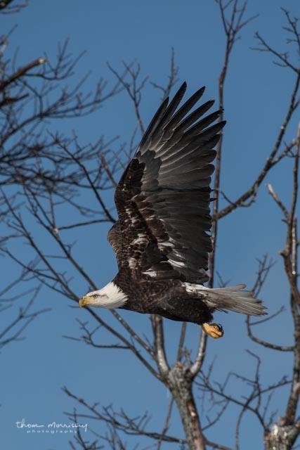 Morrissey eagle.jpg