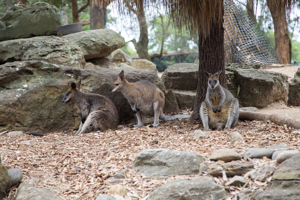 Kangaroo's at the zoo.