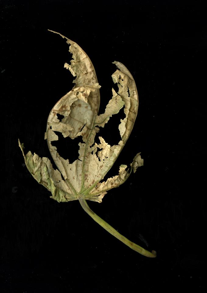 Macrophylla_hand.jpg