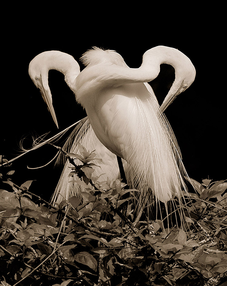 2 Great Egrets.jpg