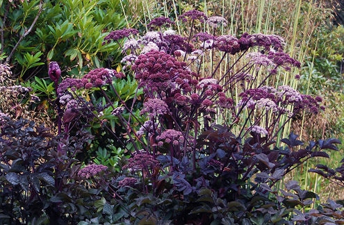 Above: Angelica stricta 'Purpurea'.  Photo by Annie's Annuals.