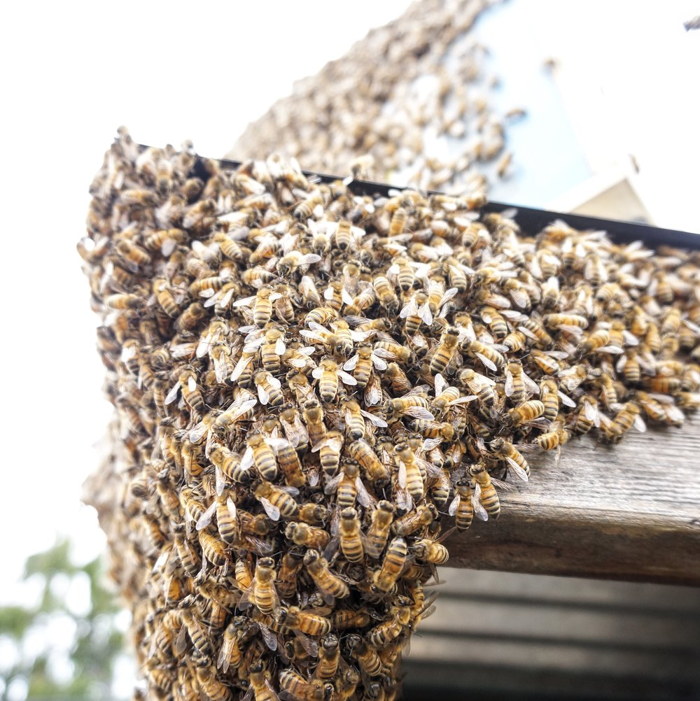 This spring we caught a swarm of bees with our bait hive.