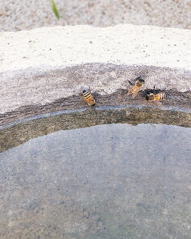 "It's a hot day so Bette, Brenda, and Bronte put on their yelllow and black-striped bikinis and are sipping drinks by the pool today. All the cool bees are doing it 😎 🐝 . . On hot days you'll see more bees at your pool, wet lawns, or ponds sipping up water to cool down the hive. They like surfaces where they won't fall in, like wet concrete, blades of grass, pond algae, or even corks bobbing in water. This pool is our attempt to keep the girls away from our neighbors' pools. . We've served up a cocktail of old aquarium water Infused with algae and sourced with the finest muck from the bottom of our aquarium 🍸 . Bees prefer warm water with organic stuff floating around in it, and the thinking is, it's easier for them to ""smell."" Plus, these discerning girls know locally sourced organic cocktails are the perfect summer accessory to a high-waisted retro bikini. They're so cool. . . . . . #coolkids #urbanbeekeeping #urbanhomestead #beepond #savethebees #rescuebees #summer"