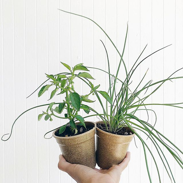 Plant Lady is the new Cat Lady 🌿. . I keep adopting stray plants! I mean, how can you not take home mini bell peppers and chives for $2.50? It's impossible. Why fight it? . PSA to all my hungry friends: Heirloom organic plants for $2.50 at @wholefoods in NorCal. Sweetwater Nursery has the best rare varieties like mushroom plants from Papua New Guinea, purple tomatillos, stevia plants... you know, those lovable weirdos only a special person could bring home 🤪. Perfect for replanting those bald spots that the rats, chickens, dog (or all three) demolished in your garden. . (BTW, not a sponsored post, bc I don't know how to even DO that. Just stuff I like and have tested out 👍). . . . . . #urbanhomestead #minibellpeppers #chives #getinmabelly #edibles #organicfarming #heirloomseeds #sweetwaternursery