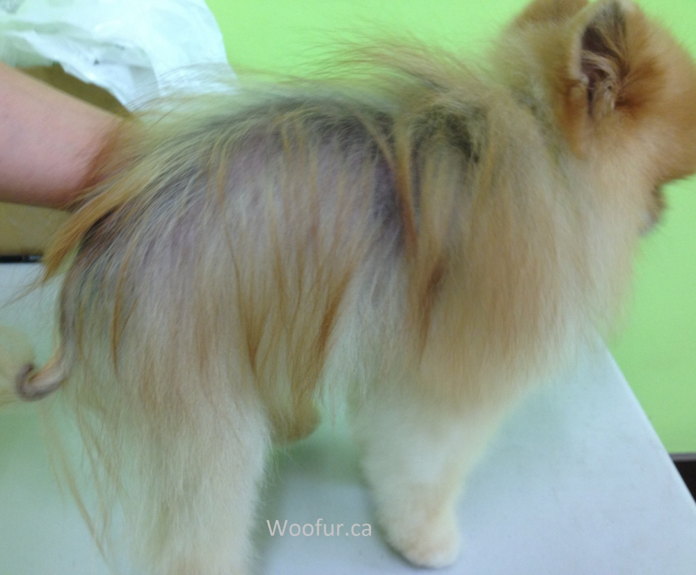 Pomeranian suffering from Post-Clipping Alopecia that had occurred over 1 year ago.