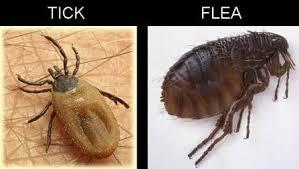 FleasTicks