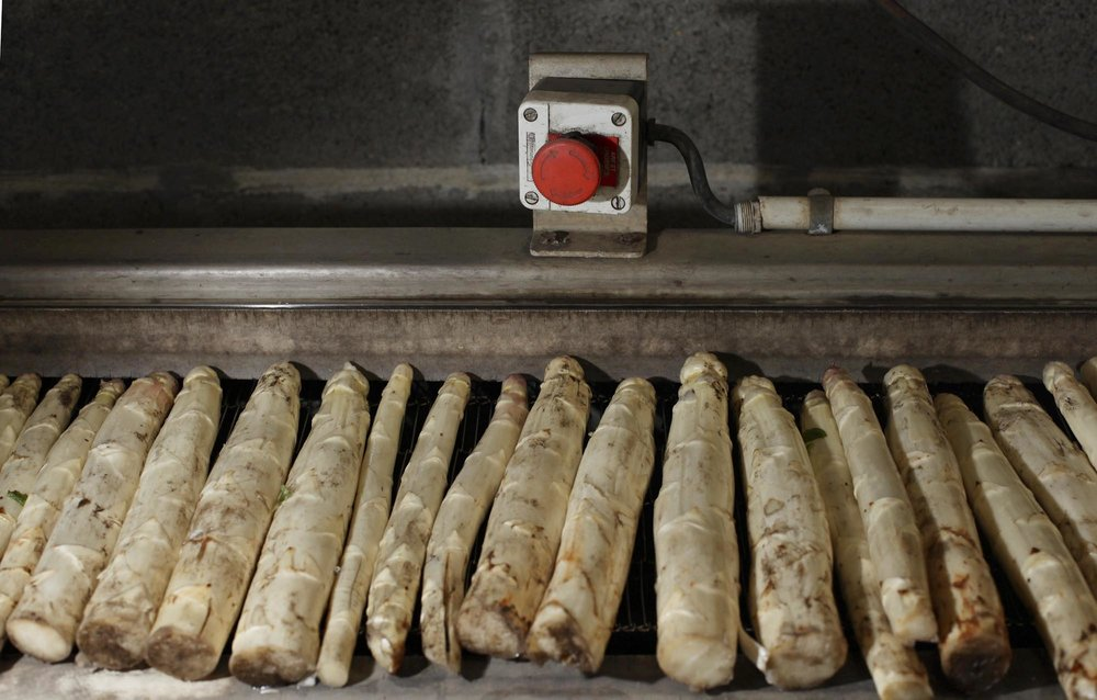 Francis and Michel Lalanne's Asparagus Farm. Freshly harvested white asparagus about to be rinsed.