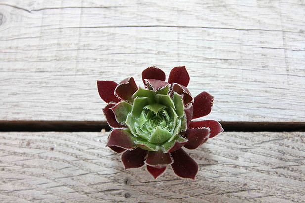 Box of 9 festive succulents
