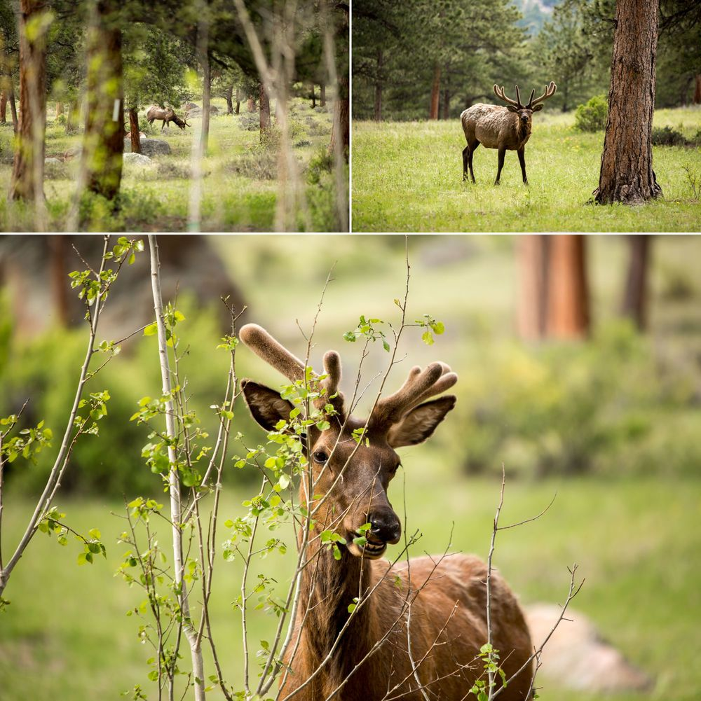 Estes Park is known for their Elk... Little did we know that the Elk were ready to hang out after all of the rain we've received and they had no problem sticking around for Brent & Kelly's wedding!